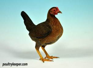 Partridge Old English Game Bantam