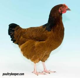 Red Sussex Female