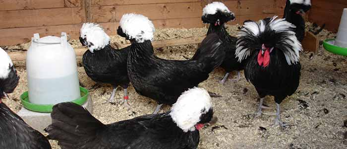 Poland Chickens