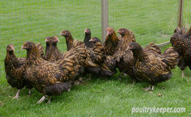Flock of Gold Laced Orpington Chickens