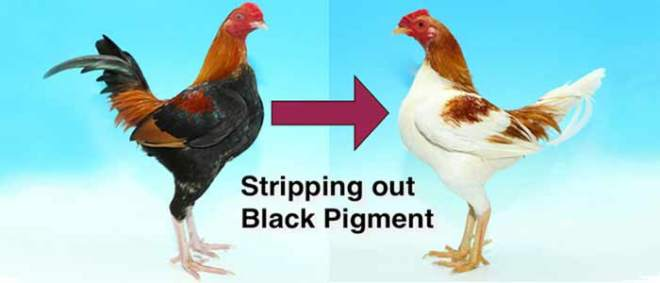 Poultry Genetics Black and Red Pigments
