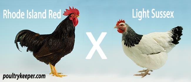 Rhode-Island-Red-X-Light-Sussex