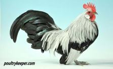 Silver Dutch Bantam