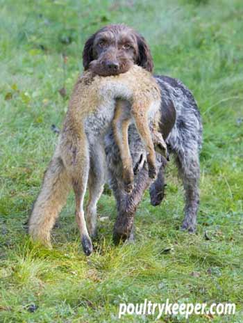 Pointer Retrieving Fox