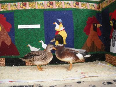 Australian Ducks