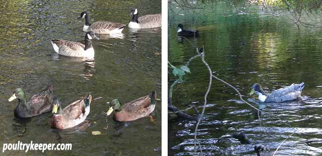 Domestic Ducks on Pond