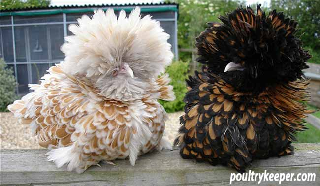 Poland Chickens