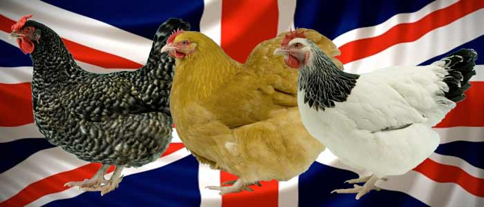 Best of British Breeds