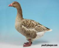 Brecon Buff Goose