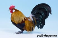 Gold Dutch Bantam Male