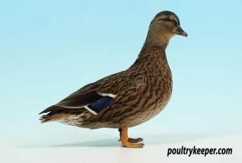 Mallard Call Duck