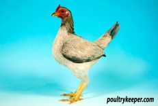 Old English Game Bantam Female