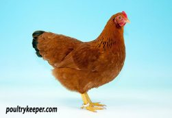 New Hampshire Red Bantam Female