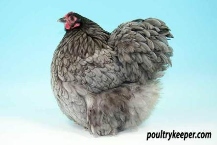 Blue Bantam Orpington Female