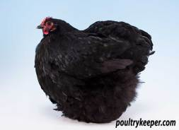 Black Orpington Bantam