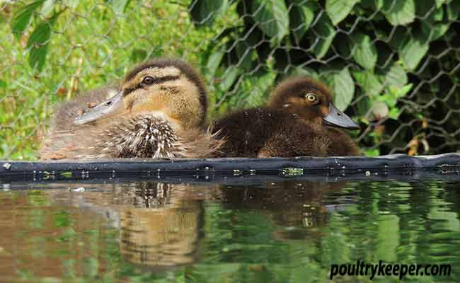 Mallard and Tufty Duckling