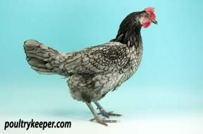Andalusian Hen