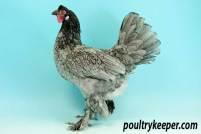 Blue Breeda Fowl