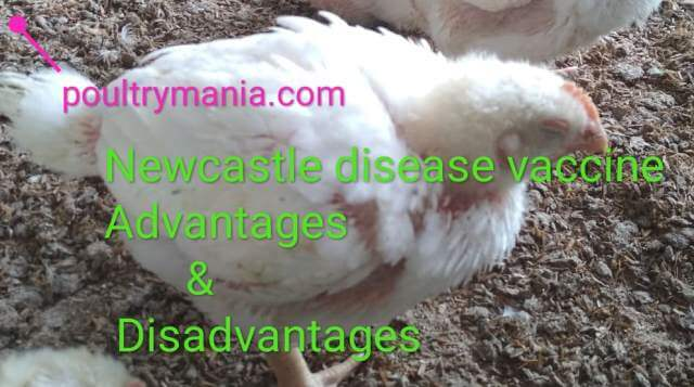 newcastle disease vaccine with its advantages & disadvantages