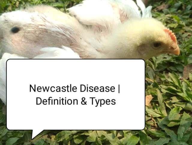 Newcastle disease in poultry