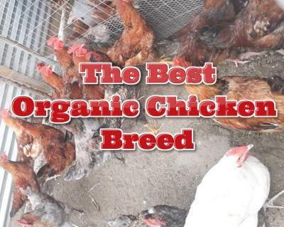 The best organic chicken breed