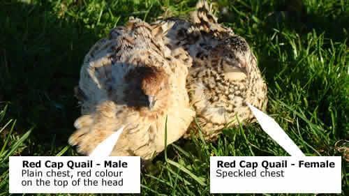 quail sexing