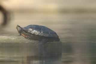 la tortue symbole de la lenteur. Comme l'homme à qui il faut du temps pour passer de la rencontre à un amour durable