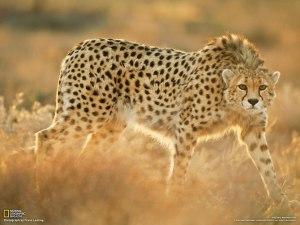 La biodiversité s'appauvrit de plus en plus vite. Après l'éléphant, le rhinocéros ou la girafe, le guépard entre aussi dans la liste des espèces menacées.