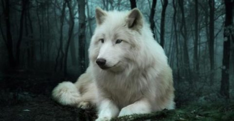 wolf snow facts serious must know pouted julie