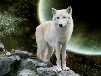 wolf snow facts serious must know characteristics pouted