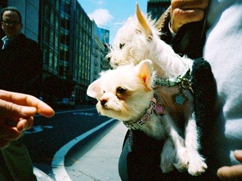 purse pups