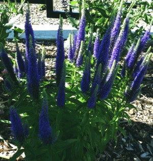 veronica spiked spring perennial