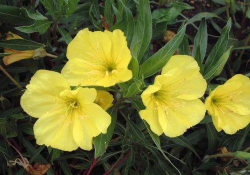 evening primrose - oenothera missouriensis