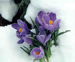 crocus blooming in snow