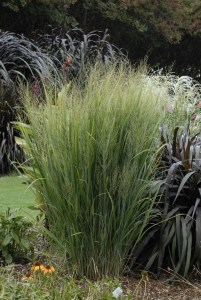Northwind panicum ornamental grass