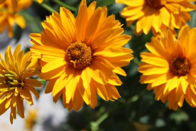 Heliopsis 'Summer Sun'