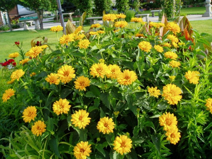 heliopsis summer sun perennial garden