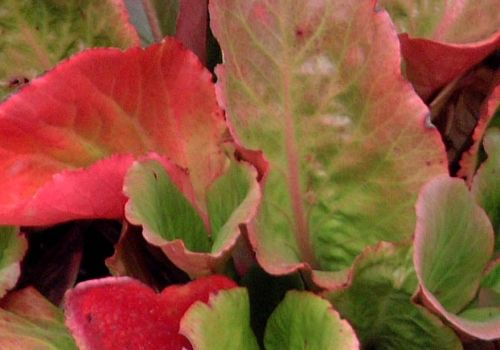 heartleaf bergenia cordifolia