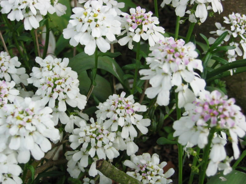 candytuft - iberis