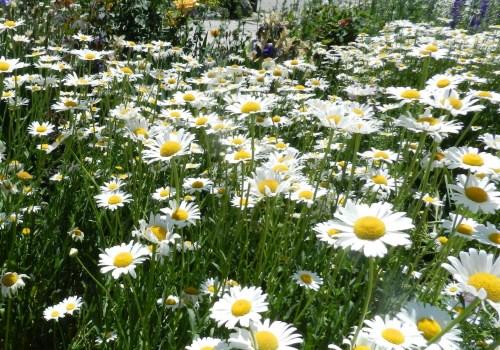 shasta daisies in the perennial garden