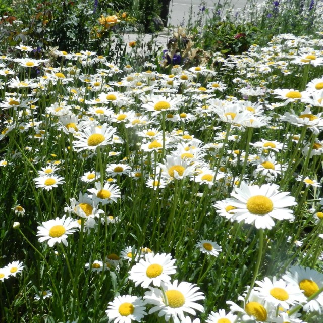 shasta daisies in the perennial garden