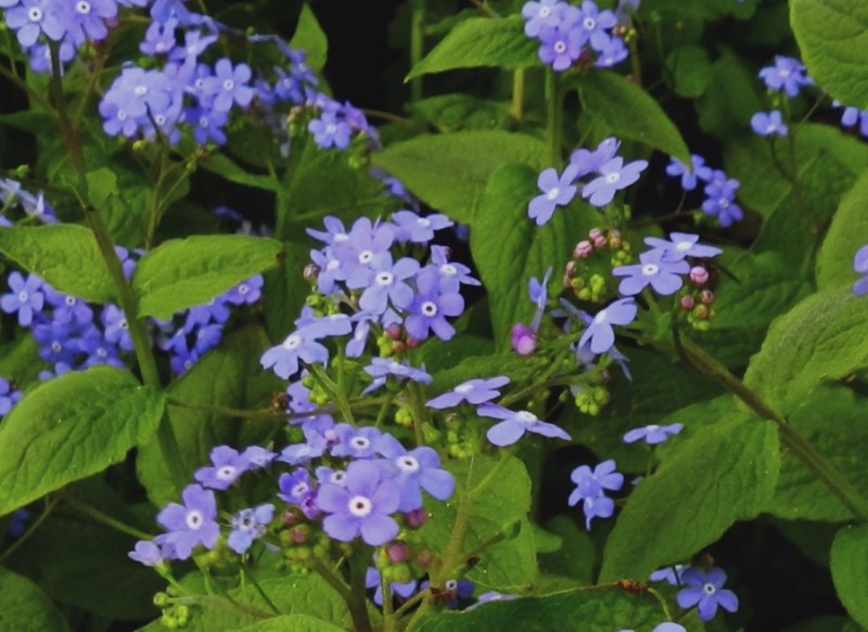 Heartleaf - Brunnera macrophylla