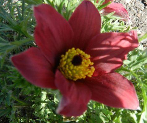 pulsatilla Lenton Rose cold hardy perennial