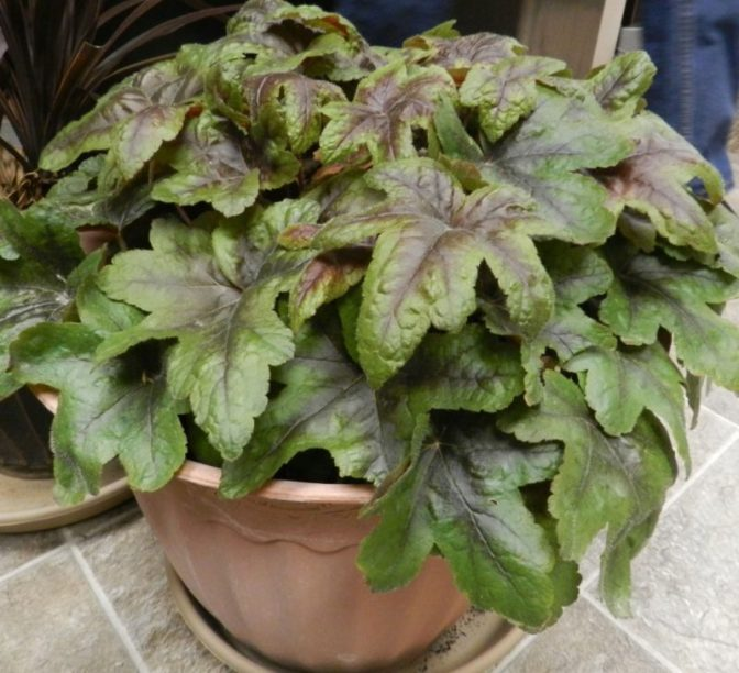 foamflower in planters or containers