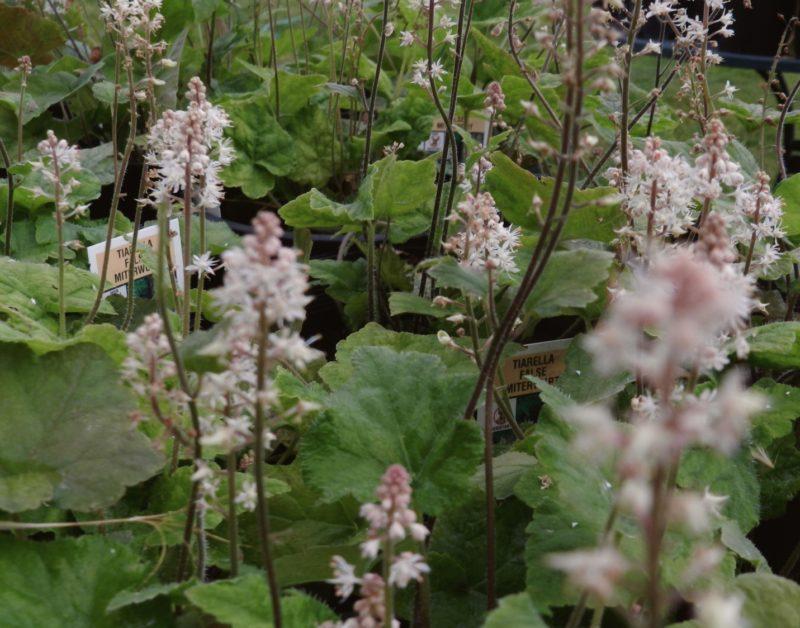 Foamflower ground cover