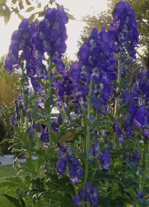 aconitum monkshood