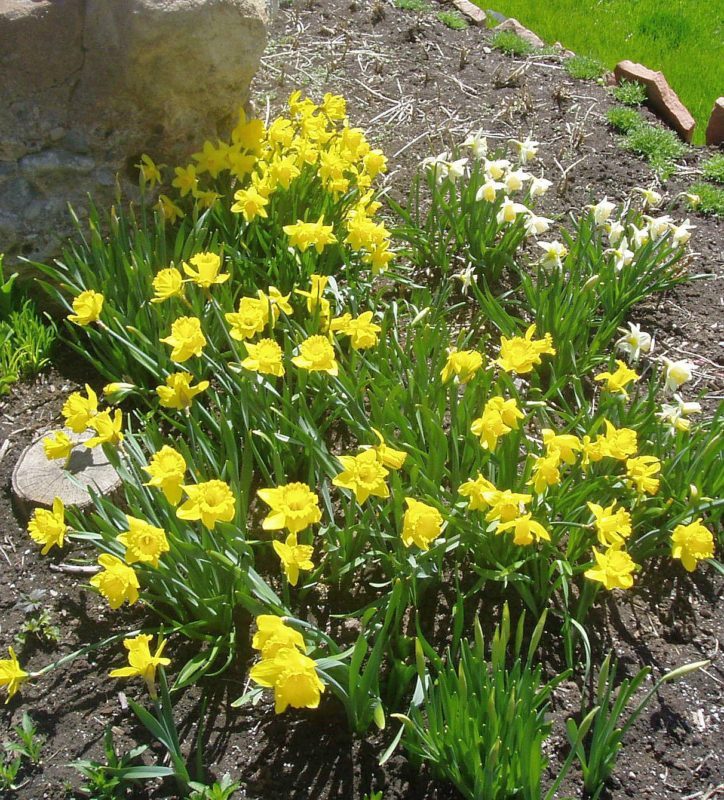 daffodils ready to divide