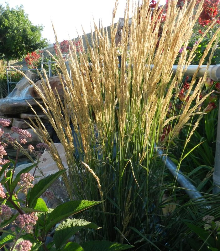 Karl Foerster Fountain Grass Easy Care All Season Beauty