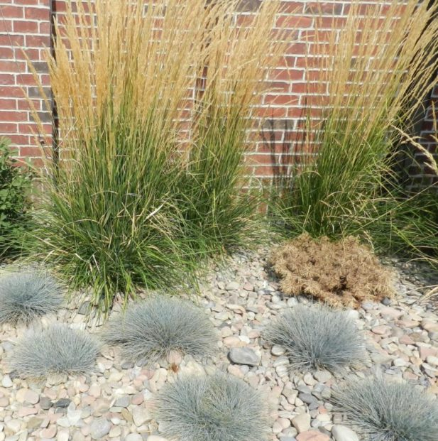 fountain grass xeriscaping