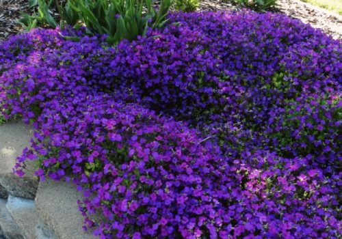 rock cress aubrieta spring garden